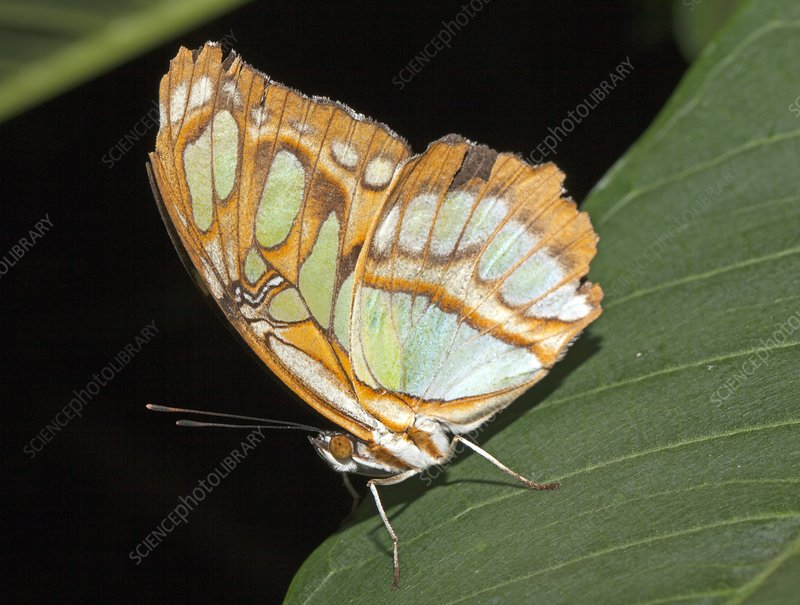 Pearly Malachite butterfly