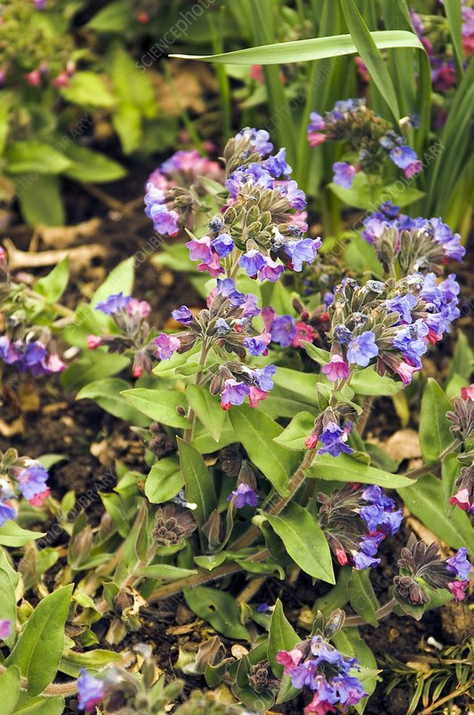 Blue cowslip (Pulmonaria angustifolia)