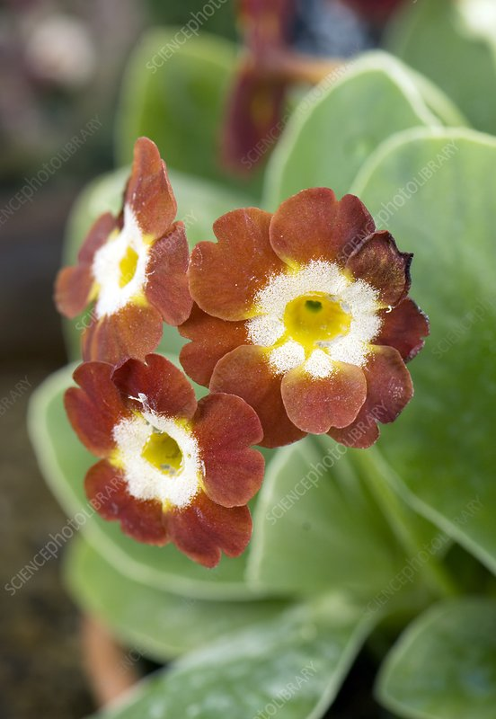 Primula auricula 'Slack Top Red'