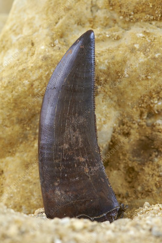 Theropod dinosaur tooth