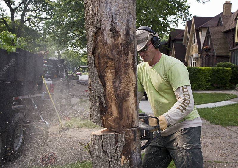 Removing ash borer infected tree