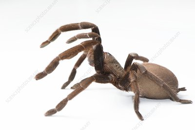 Eastern tarantula, spider venom research