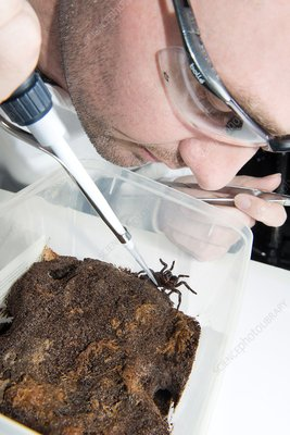 Funnel web spider, venom research