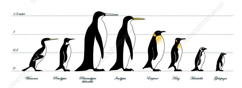 extinct and living penguin comparison