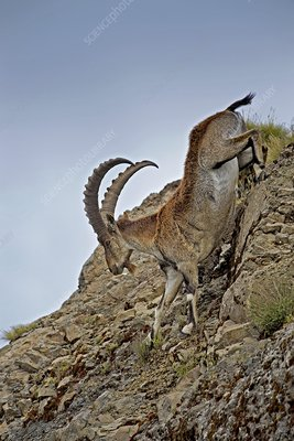 Male Wahlia Ibex mountain descent