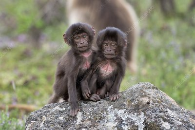 Young Geladas at play