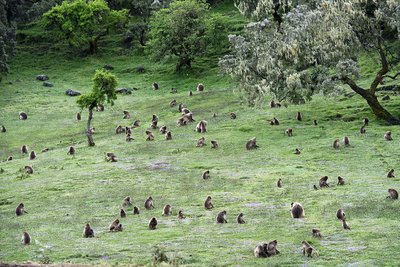 A group of grazing Gelada baboons