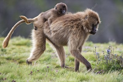 Female Gelada baboon carrying her infant