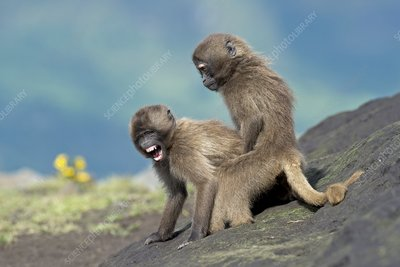 Young Gelada in dominance display
