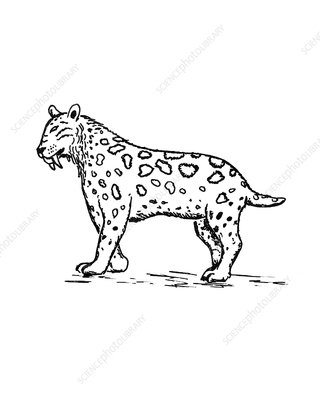 Sabre toothed cat, illustration