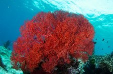 Bright red sea fan