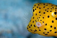 A young boxfish