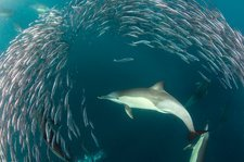 Dolphins hunting sardines