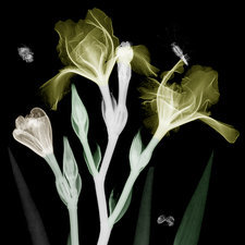 Irises and insects, coloured X-ray