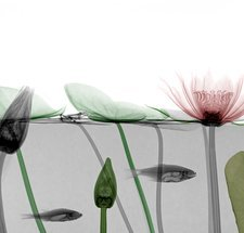 Roach and water lilies, coloured X-ray