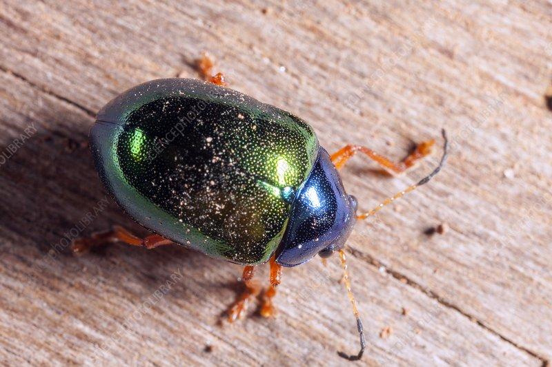 Iphimeis dives beetle