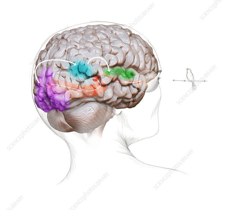 Vision and sound neurology, illustration