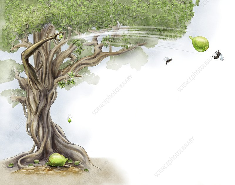 Fig tree and wasp, illustration