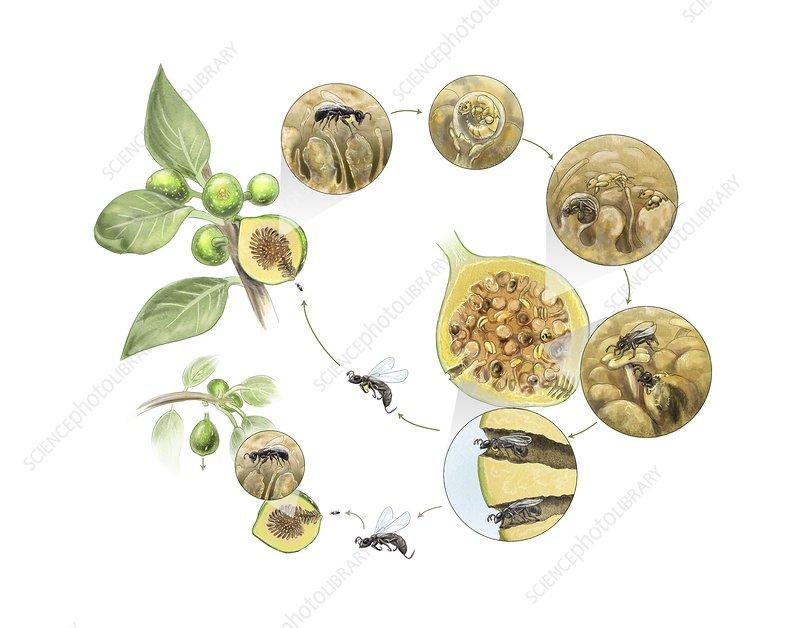 Fig wasp life cycle, illustration