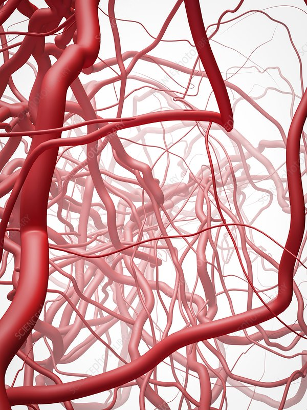 Arteries, illustration