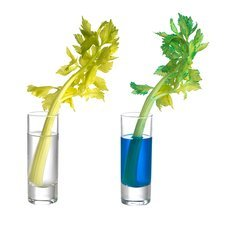 Transpiration in celery stalks
