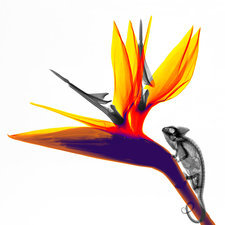 Chamaeleon and flower, coloured X-ray