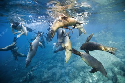 California sea lions and snorkeller