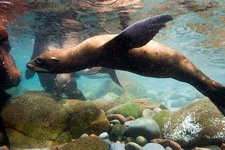 California sea lion in shallow water