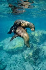 California sea lions in shallow water
