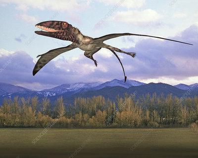 Dimorphodon pterosaur, illustration