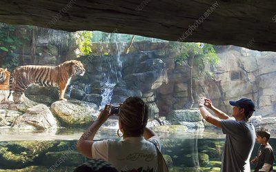 Sumatran tigers in a zoo