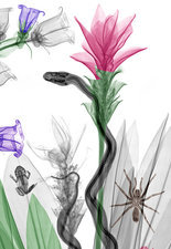 Snake and flowers, X-ray