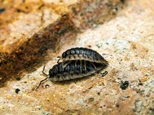 Common woodlice mating