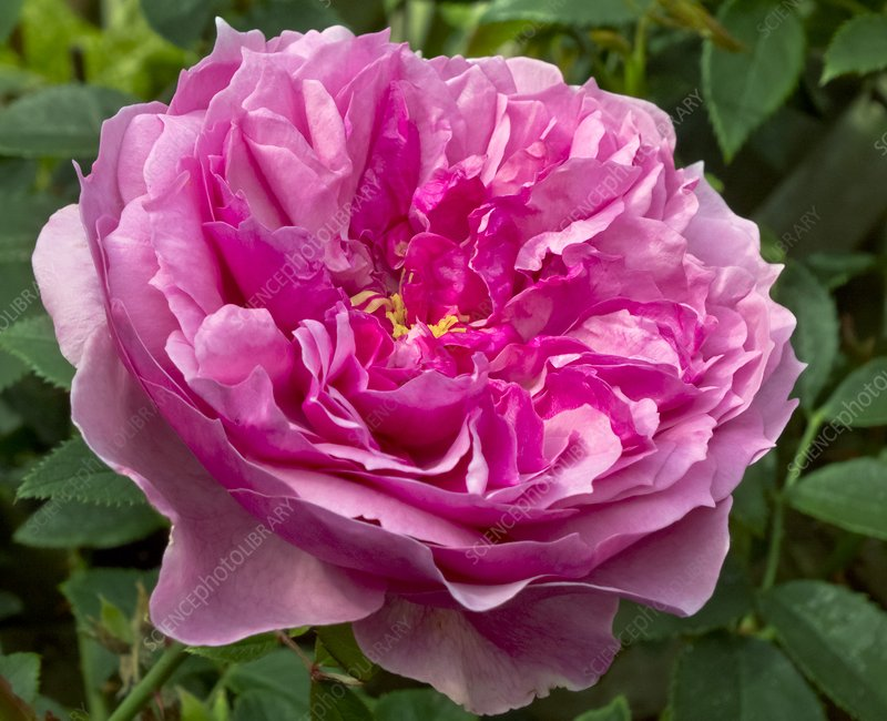 Rose (Rosa 'Cessa') flower
