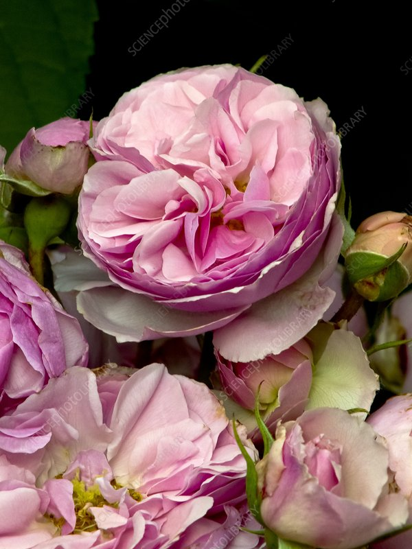 Rose (Rosa 'The Enchantress') flowers
