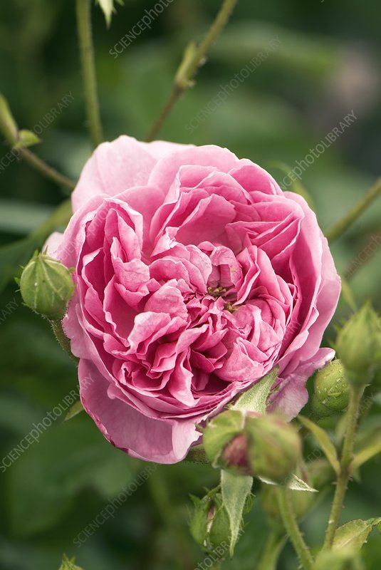 Rose (Rosa 'Harlow Carr' ) flower