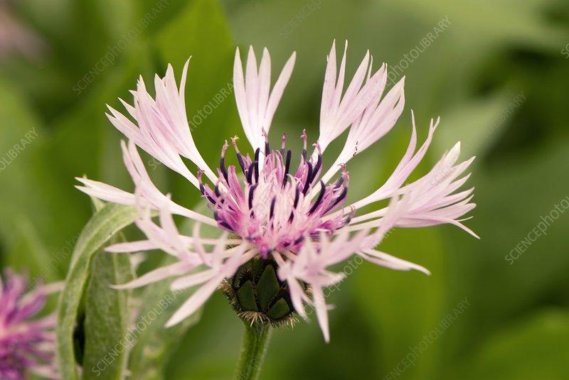 Centaurea montana 'Rosea'