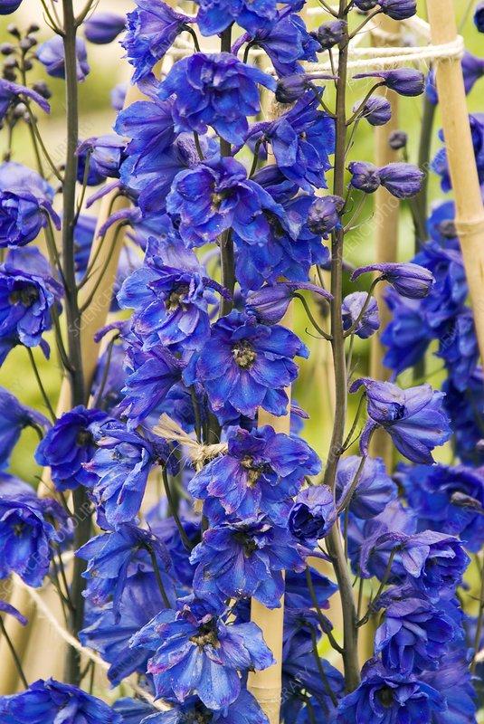 Delphinium 'Blue Tit' flowers