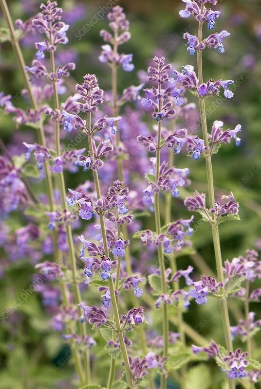 Nepeta 'Six Hills Giant' flowers