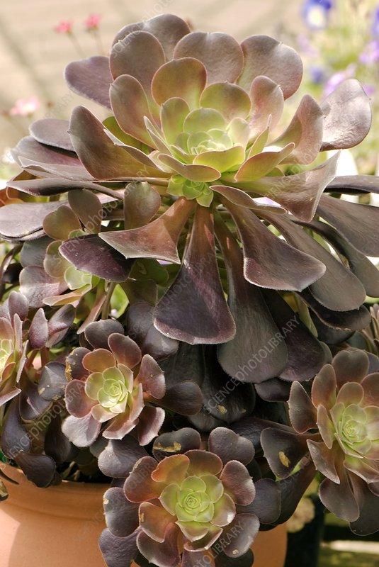 Tree houseleek (Aeonium arboreum)