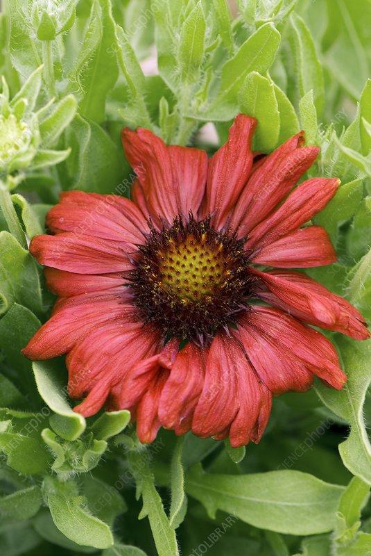 Gaillardia 'Sunburst Burgundy'