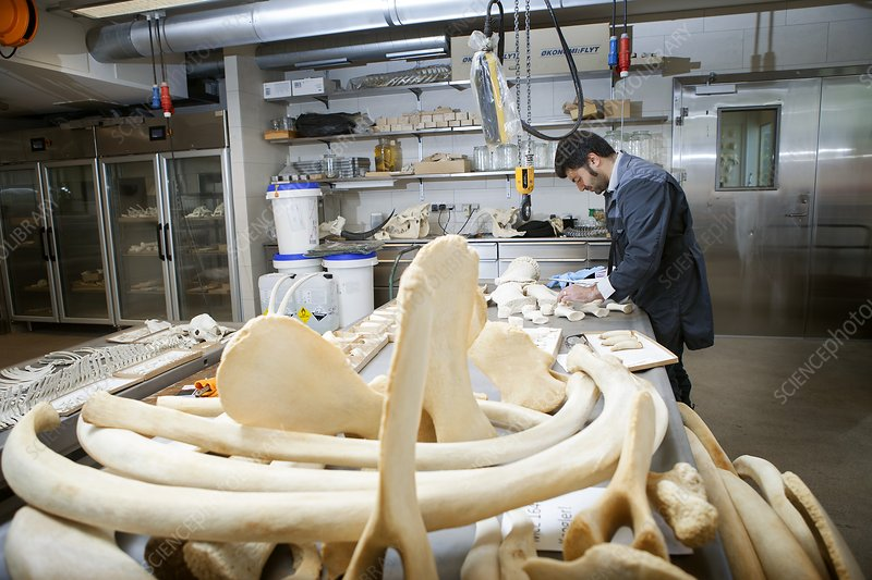 Sperm whale skeleton preparation
