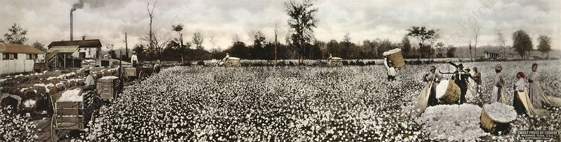 Cotton plantation, 1914