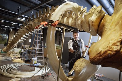 Sperm whale skeleton assembly