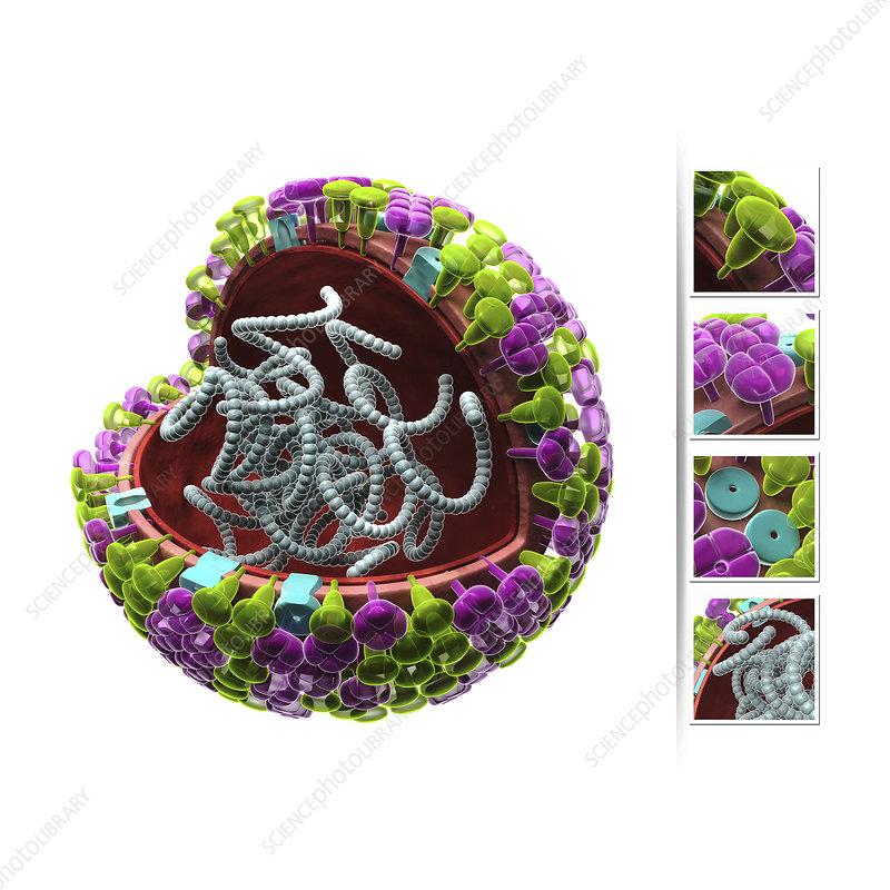 Influenza virus structure, illustration