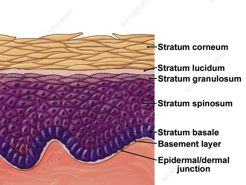 Skin epidermis, illustration