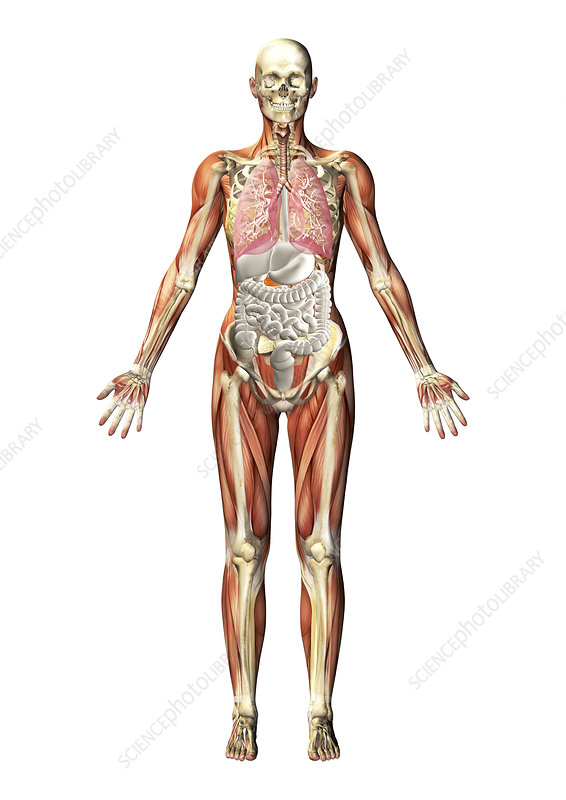 Human anatomy, illustration