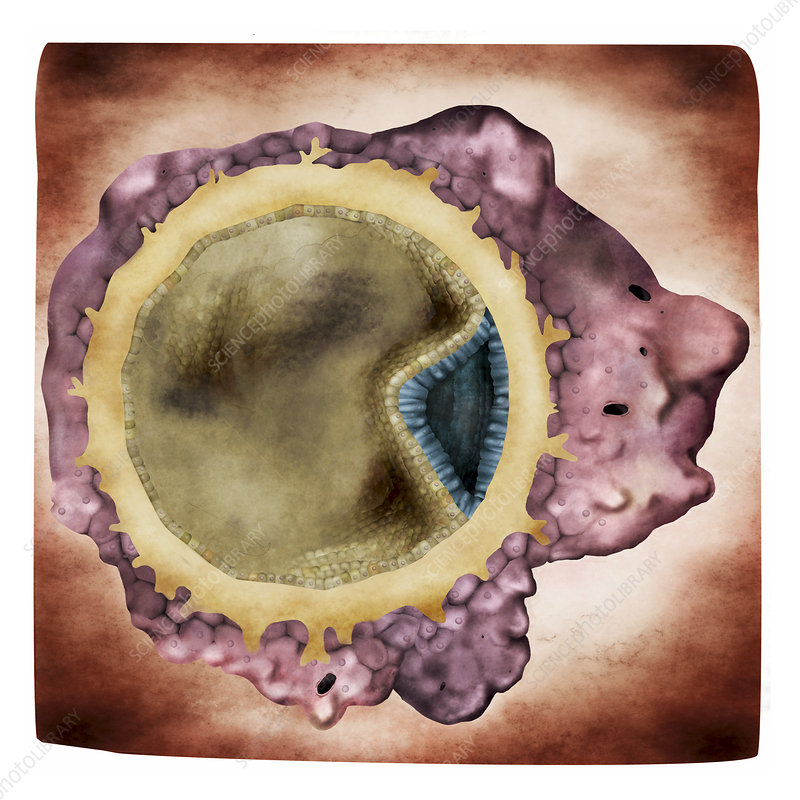 Embryo implantation, illustration