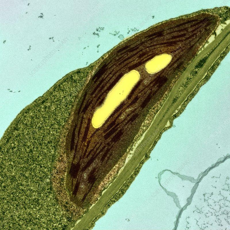 Chloroplasts  Tem - Stock Image - C023  4055