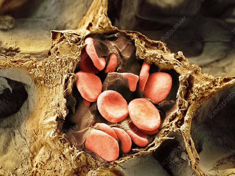 Blood vessel and alveoli in lung tissue